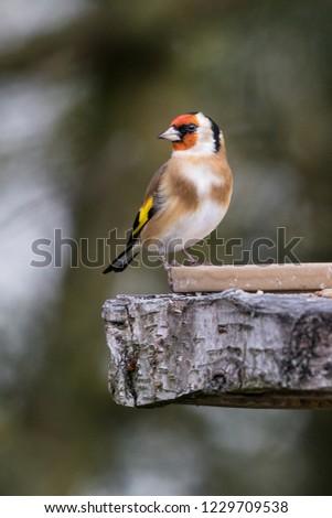 Goldfinch Feeding from bird table