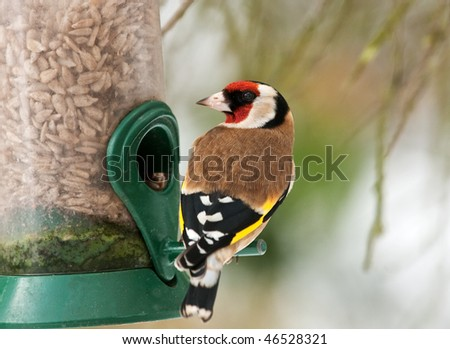 Goldfinch feeding on sunflower kernels