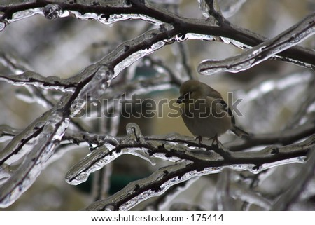 Goldfinch in icy tree - stock photo