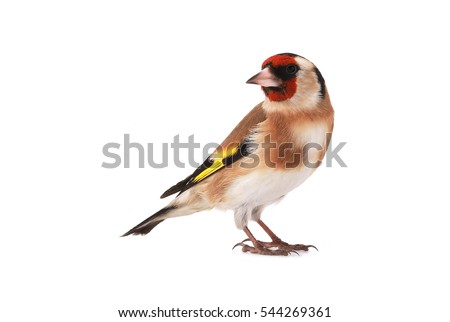 goldfinch isolated on a white...