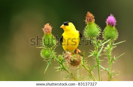Goldfinch, male, perched among bull thistle flowers