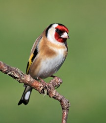 Goldfinch perched on a stick