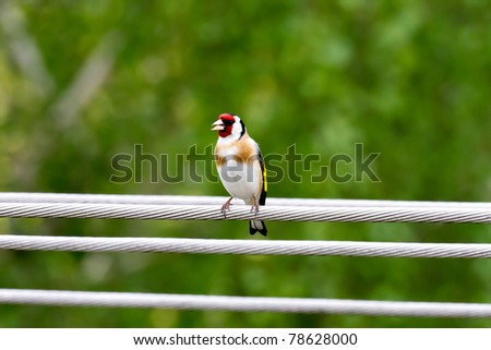 Goldfinch perched on the power line