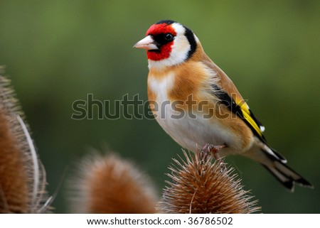 Goldfinch perches on teasel