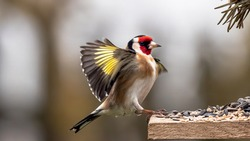 Goldfinch with spreaded wings during approach for landing  on a feeding ground with bird seed in front fo blurred background