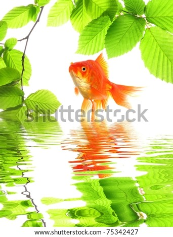 goldfish and green leaves with water reflection showing nature or spa concept