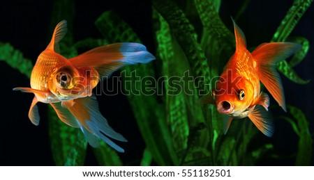 Shutterstock Goldfish, aquarium, a fish on the background of aquatic plants
