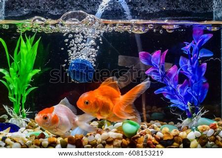 Goldfish, aquarium, a fish on the background of aquatic plants #608153219
