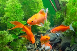 Goldfish Background green water plants
