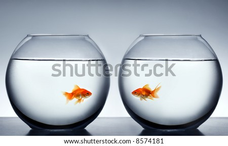 Goldfish falling in love