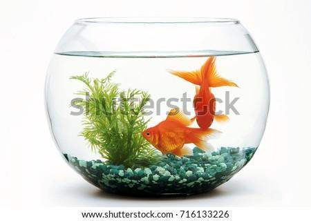 Shutterstock Goldfish fishbowl