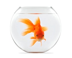 Goldfish floating in glass sphere and on a white background