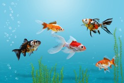 Goldfish in aquarium, blue background, different colorful carassius auratus fishes in fish tank with bubbles and water plants