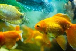goldfish in aquarium, fish in aquarium, tropical fish in aquarium