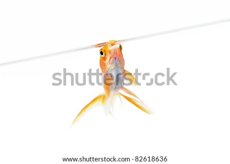 Goldfish in aquarium near surface of water. Isolated. Without shade.