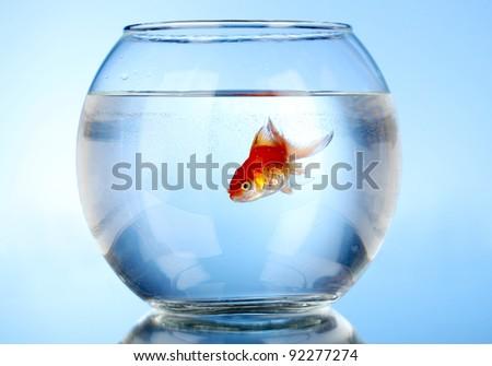 Goldfish in aquarium on blue background