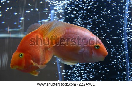 Goldfish in aquarium with bubbled air - Carasius auratu