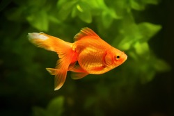 Goldfish in aquarium with green plants, and stones