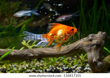 Goldfish in aquarium with green plants, snag and stones
