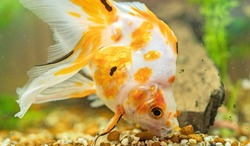 Goldfish in aquarium with plants and stones. Eating rocks.