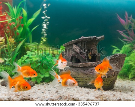 Shutterstock Goldfish in freshwater aquarium with green beautiful planted tropical