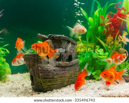Goldfish in freshwater aquarium with green beautiful for Aquarium decoration for goldfish
