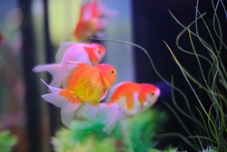 Goldfish in the beautiful contest.