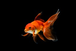goldfish isolated on a dark black background. different colorful Carassius auratus in the aquarium