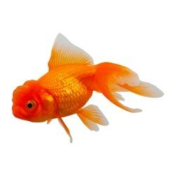Goldfish isolated on a white background.