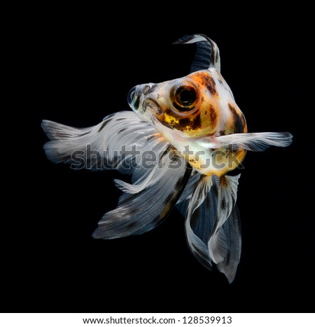 goldfish isolated on black background