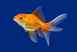 Goldfish isolated on blue background