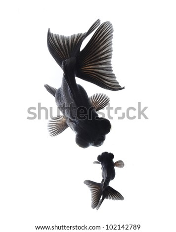 goldfish mother and child concept isolated on white background