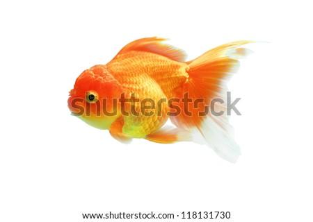 Goldfish on a white background.
