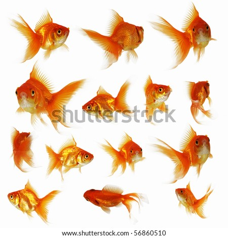 Goldfish on a white background - stock photo