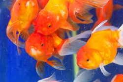 Goldfish or Golden carp, as an object of breeding in ceremonial ponds and aquariums, goldfish bowl. Thailand