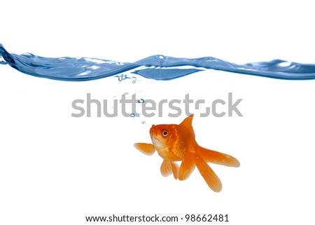 Goldfish swim in the water  isolated on white background