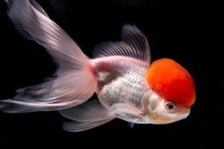 Goldfish,White ornamental fish