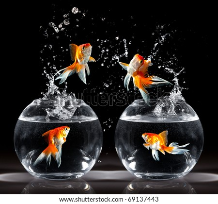 ... jumps upwards from an aquarium on a dark background - stock photo