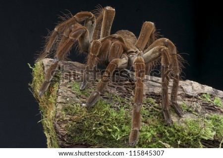 Goliath bird eater spider / Theraphosa lablondi, biggest spider species in the world.