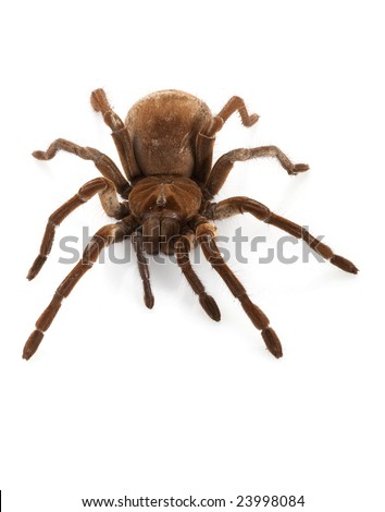 theraphosa for sale south africa