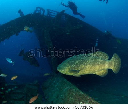Goliath Grouper on the MV Castor