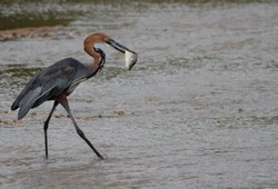 Goliath heron catching a fish in the wild