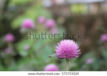 gomphrena globosa  commonly...