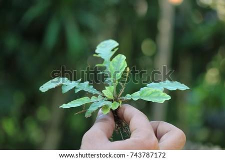 Gon diwa srilankan medicinal plant