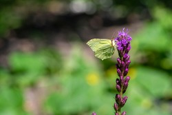 Gonepteryx rhamni butterfly sitting on Liatris spicata deep purple flowering flowers, beautiful animal with yellow white wings