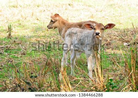 Good breeding cattle Livestock in the household