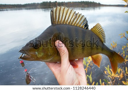 Good fishing on Northern rivers, caught perch. Big perch fish in hands, catch of fisherman, fishing fall, in autumn fishing. Bass on background of yellow trees and lake. Men's autumn leisure #1128246440