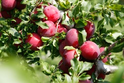Good harvest of juicy ripe purple plums on plum tree branches in an orchard in summer. Close-up.