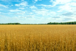 good harvest on a wheat field on a sunny day