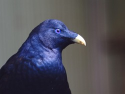 Good-Looking Charismatic Male Satin Bowerbird in Majestic Beauty.